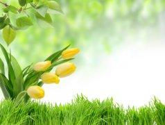 郁金香代表什么 郁金香的象征意义