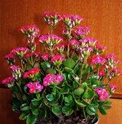 长寿花有毒吗 长寿花的养殖方法