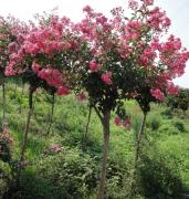 紫薇树图片价格和风水应用