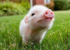 初十日生属猪人命运好吗?