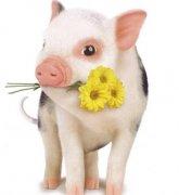 十七日生属猪人命运好吗?