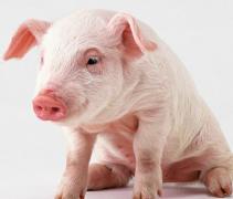 二十日生属猪人命运好吗?
