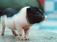 猪人生于申时命运好吗?