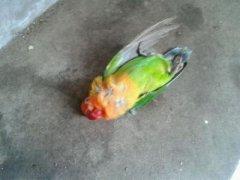 梦见鹦鹉死了周公解梦,梦见鹦鹉死了是什么意思?