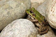 梦见用石头砸青蛙周公解梦,梦见用石头砸青蛙是什么意思?
