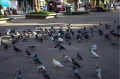 梦见有很多鸽子周公解梦,梦见有很多鸽子是什么意思?