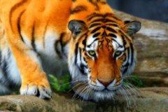 梦见遇见老虎而吓一跳周公解梦,梦见老虎而吓一跳是什么意思?