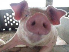 梦见猪嘴周公解梦,梦见猪嘴是什么意思?