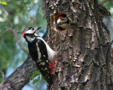 梦见啄木鸟周公解梦,梦见啄木鸟是什么意思?