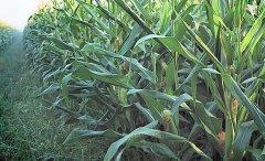 梦见玉米地周公解梦,梦见玉米地是什么意思?