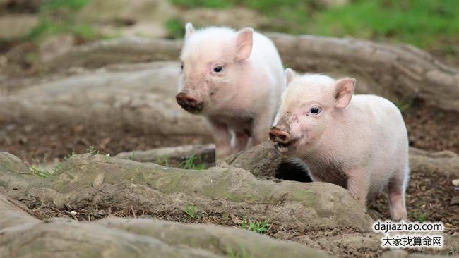 属猪2019年运势及运程 属猪人2019年本命年运势