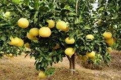 梦见柚子树周公解梦,梦见柚子树是什么意思?